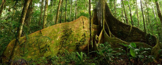 Mammutbaum im Regenwald